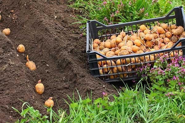 Посадка раннего картофеля