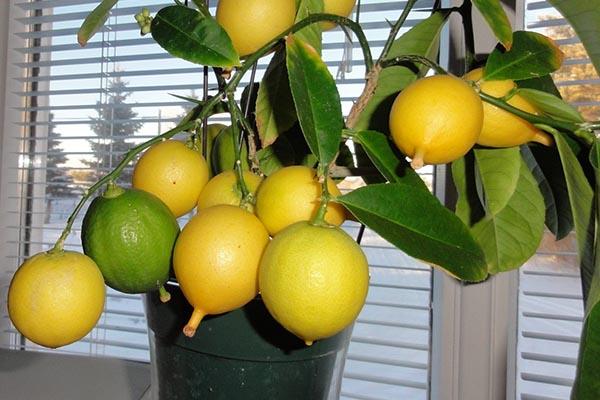 Как выростить лимон